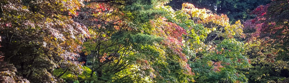 Acer glade showing autumn colours
